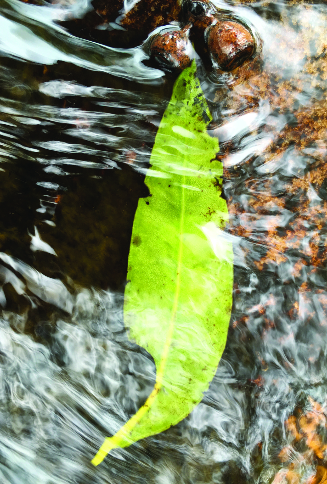 Leaf in Water No 1. ~ Southern NSW, Australia